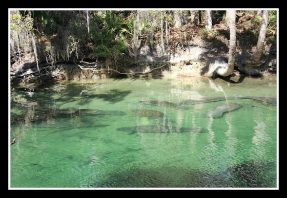 Manatees Galore at Blue Spring State Park